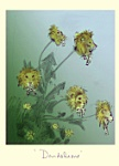 Julian Williams: Dandelions
